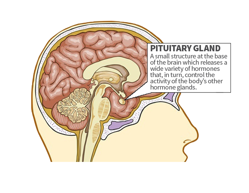 pituitary gland - endocrinology of central pa,